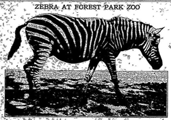 Forest Park Zoo zebra graphic