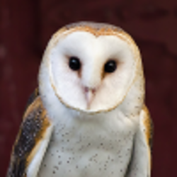 barn owl at the Fort Worth Zoo