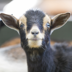 Baby goat at the Fort Worth Zoo