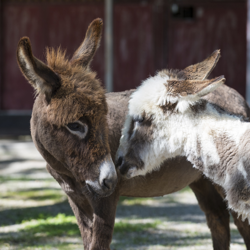 Miniature donkeys at the Fort Worth Zoo