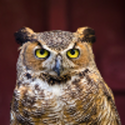 great horned owl at the Fort Worth Zoo