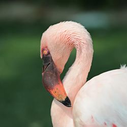 flamingo at Fort Worth Zoo