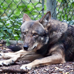 red wolf at the Fort Worth Zoo