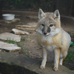 white and gray fox