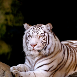 tiger at Fort Worth Zoo