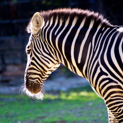 zebra at Fort Worth Zoo