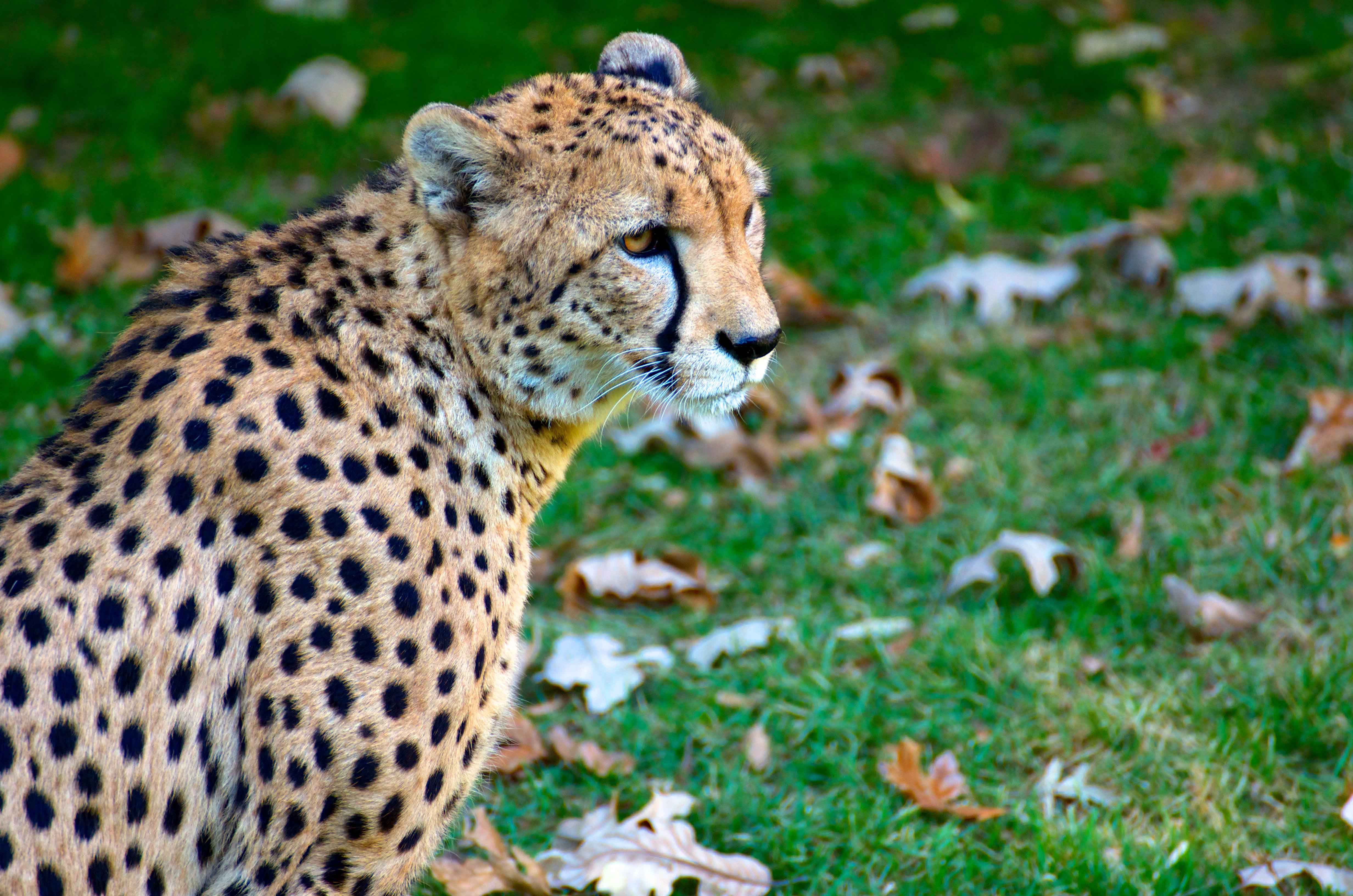 cheetah at Fort Worth Zoo