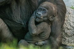 Baby gorilla at the Fort Worth Zoo