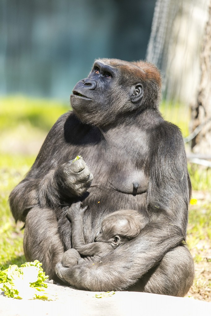 Baby gorilla and its mother at the Fort Worth Zoo