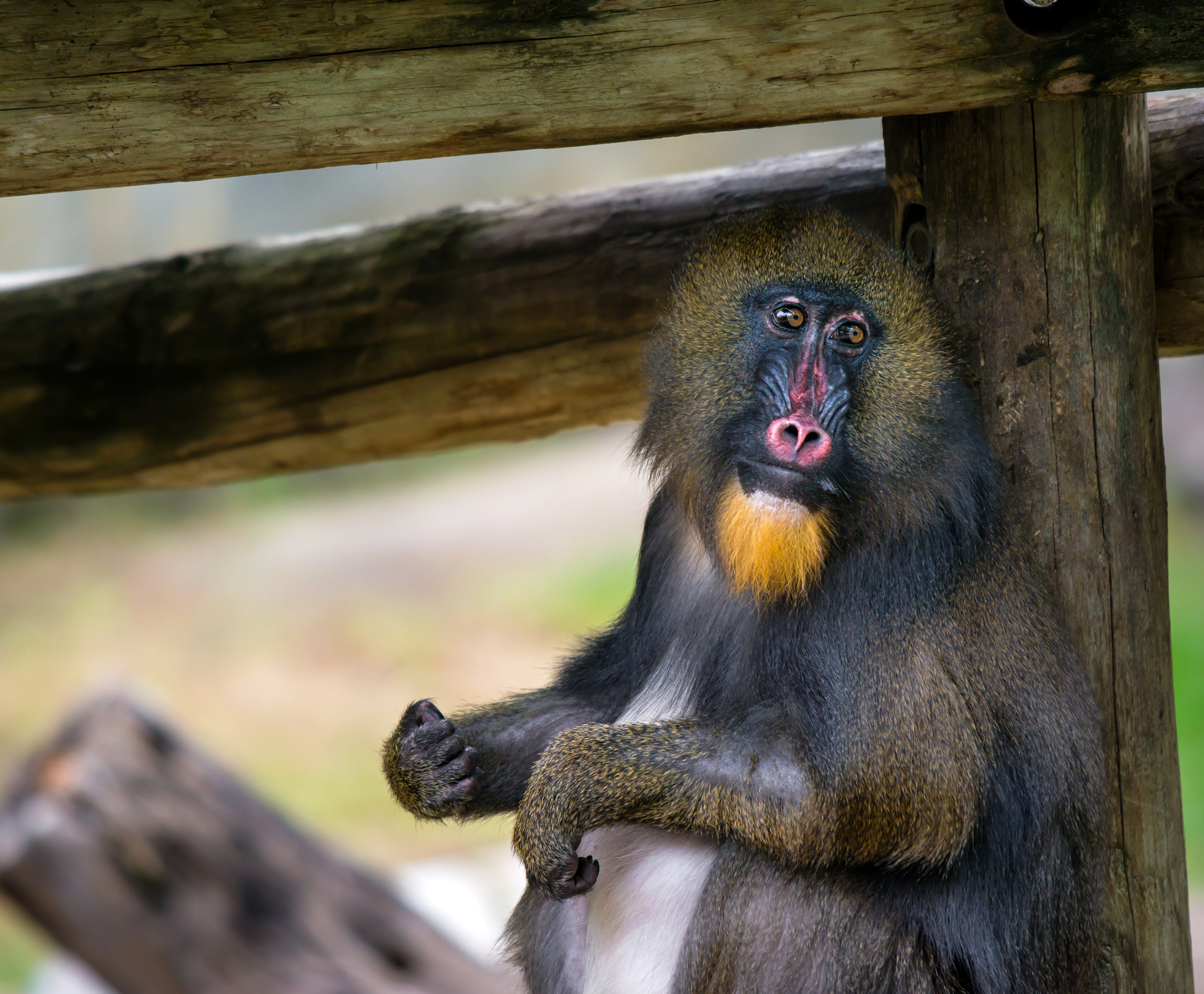 Fort Worth Toyota >> World of Primates welcomes female mandrill