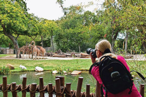 Fort Worth Zoo Photo Club photographer taking photos of giraffes