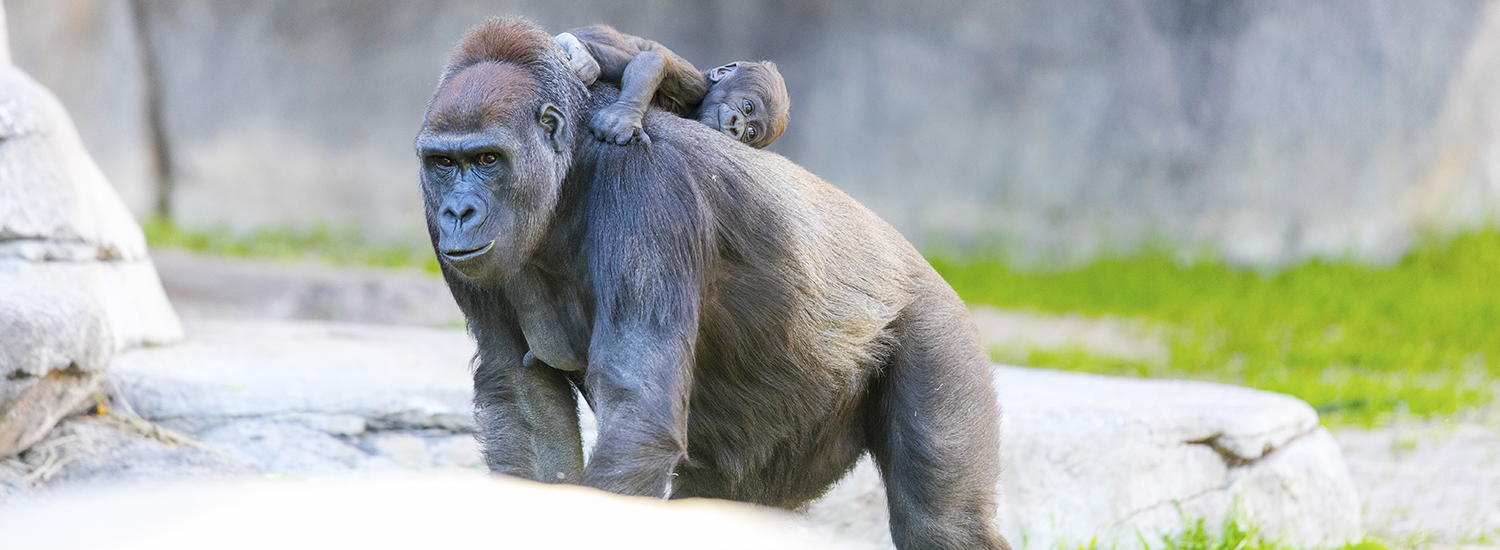 Mother and baby gorilla at the Fort Worth Zoo