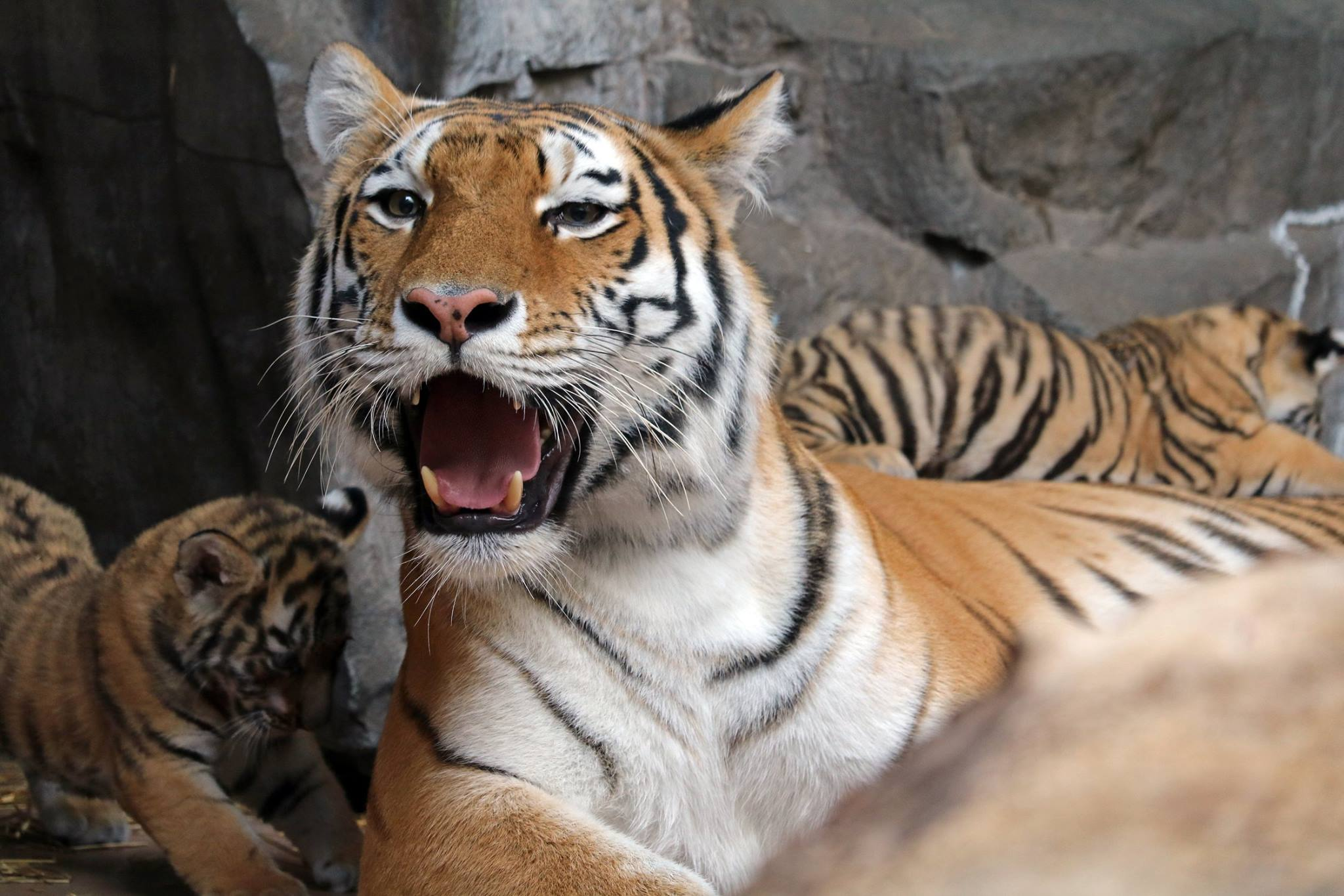 New Tiger Breeding Center, Genome Resource Bank Aim to Save Wild Tiger Populations