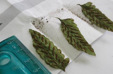 Saving Hawaiian Fern from Extinction