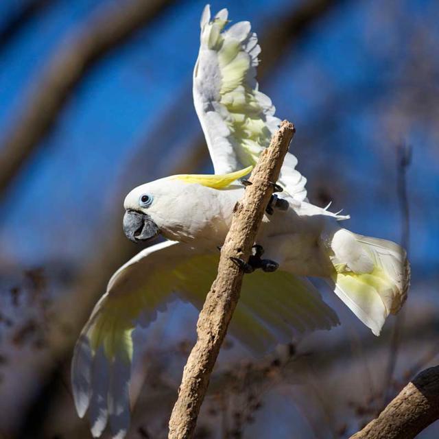 Blue eyed triton cockatoo - photo#17