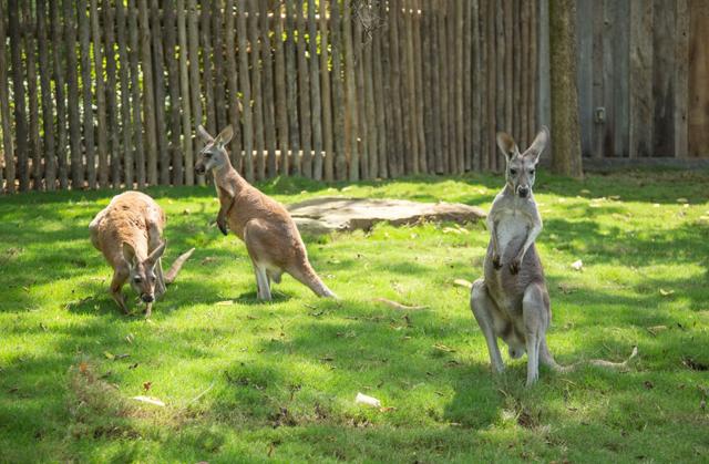 Red Kangaroo Habitat Mammals