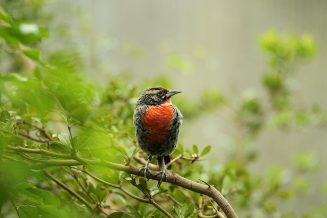 Small red-chested bird