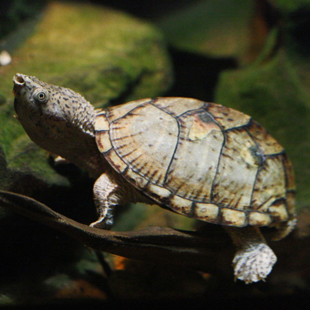 What S The Difference Between Turtles And Tortoises Va idilbae mada quylar bor. what s the difference between turtles