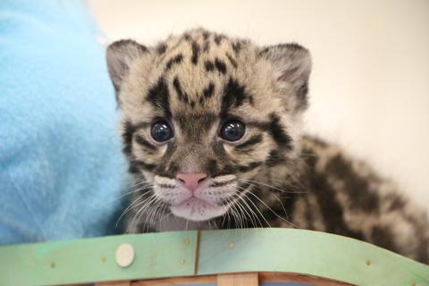 female clouded leopard cub born at nashville zoo