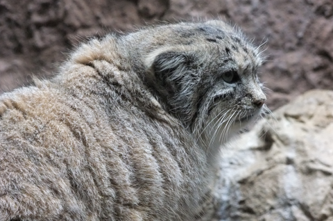how to buy a pallas cat
