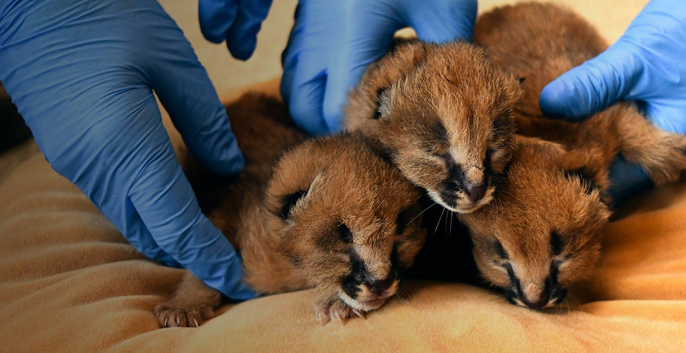 Three newborn caracal kittens