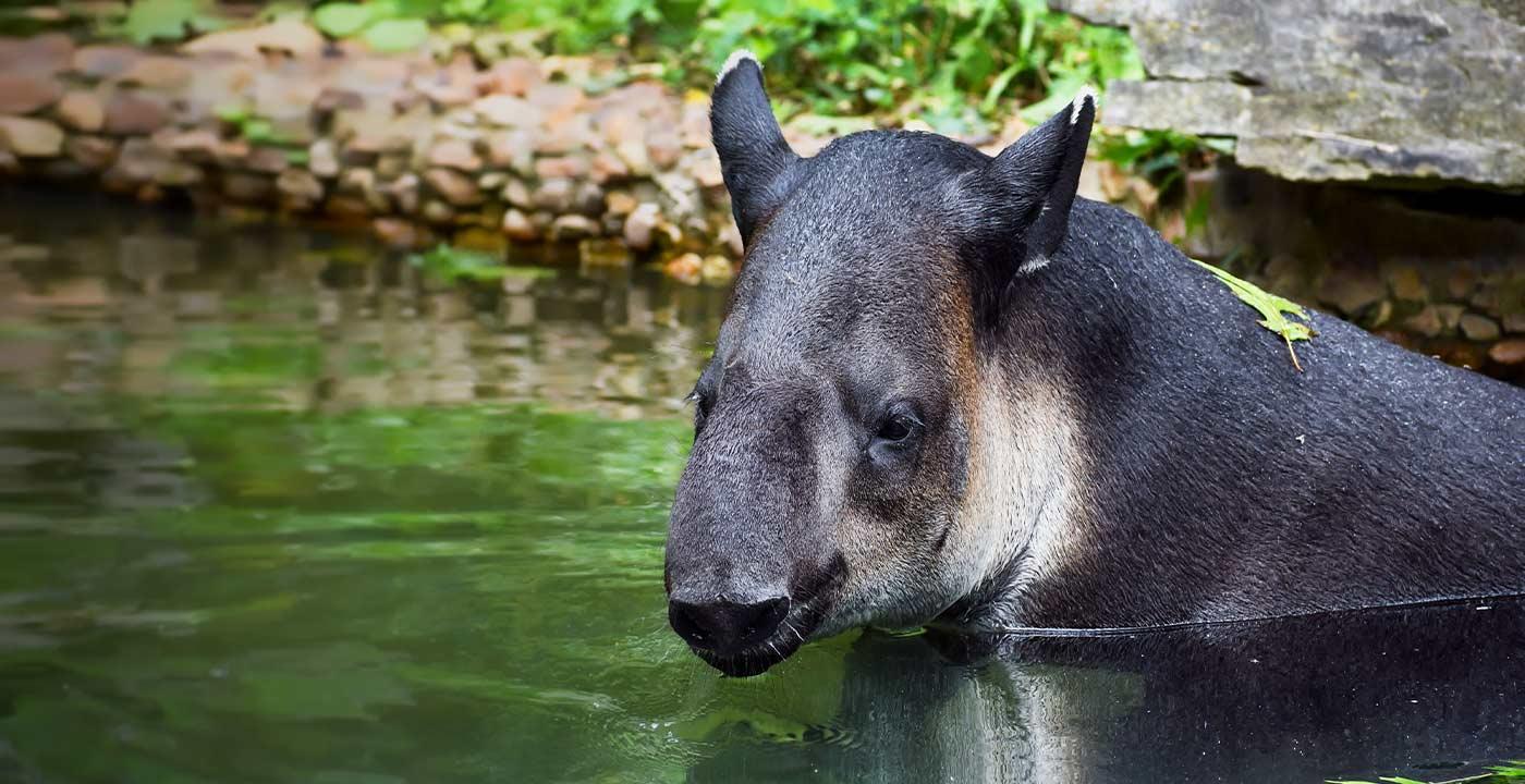Tapir in a pool