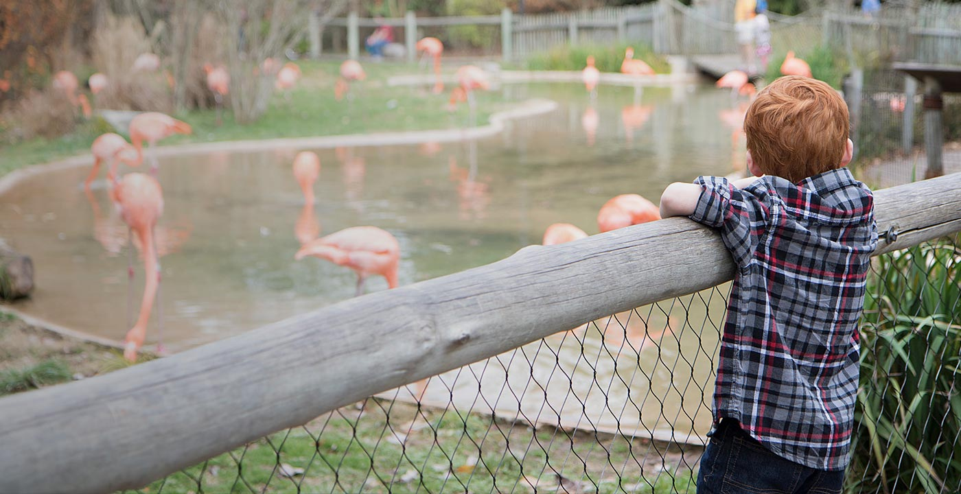 Child looking at flamingos
