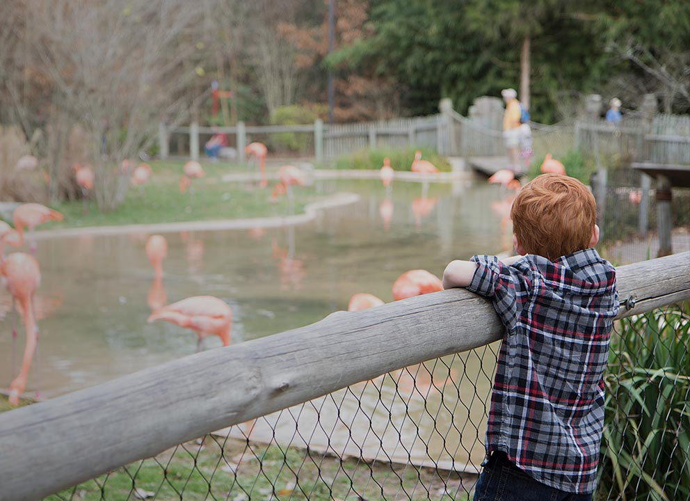 Boy looking at flamingos