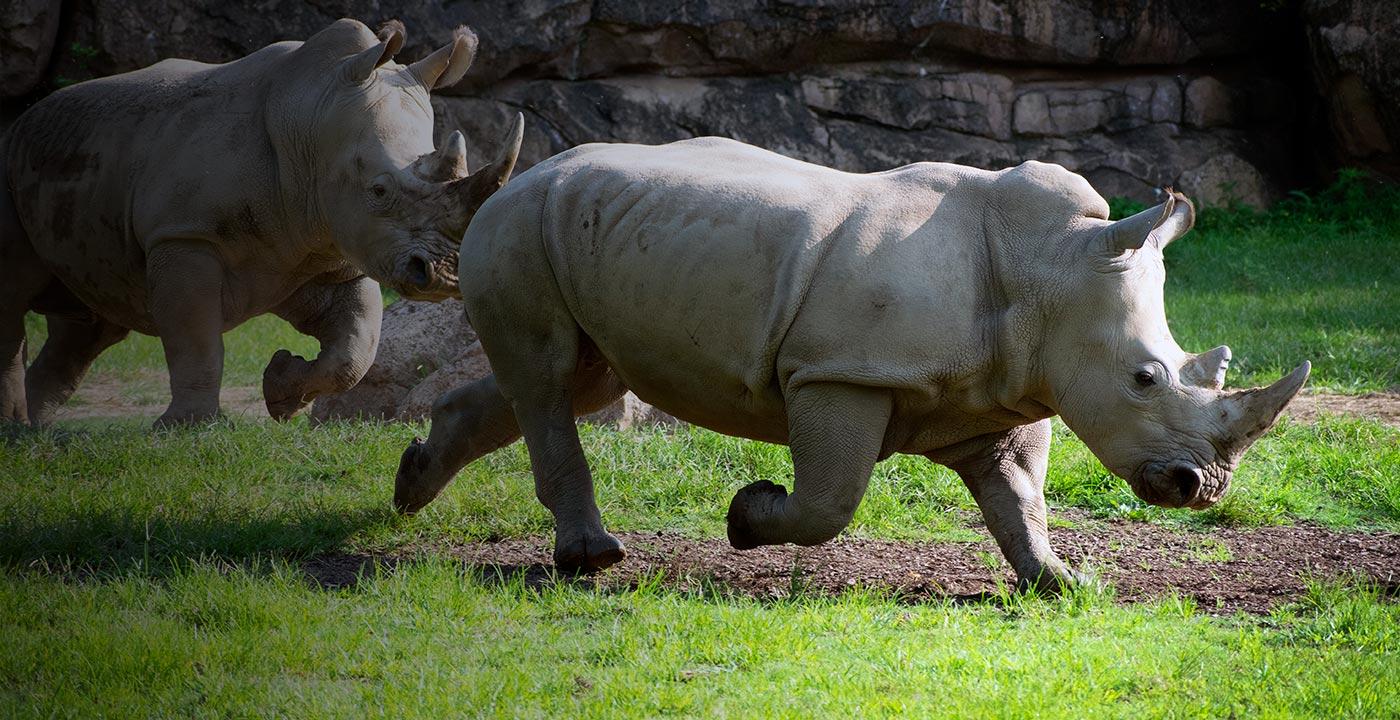 Rhinos running