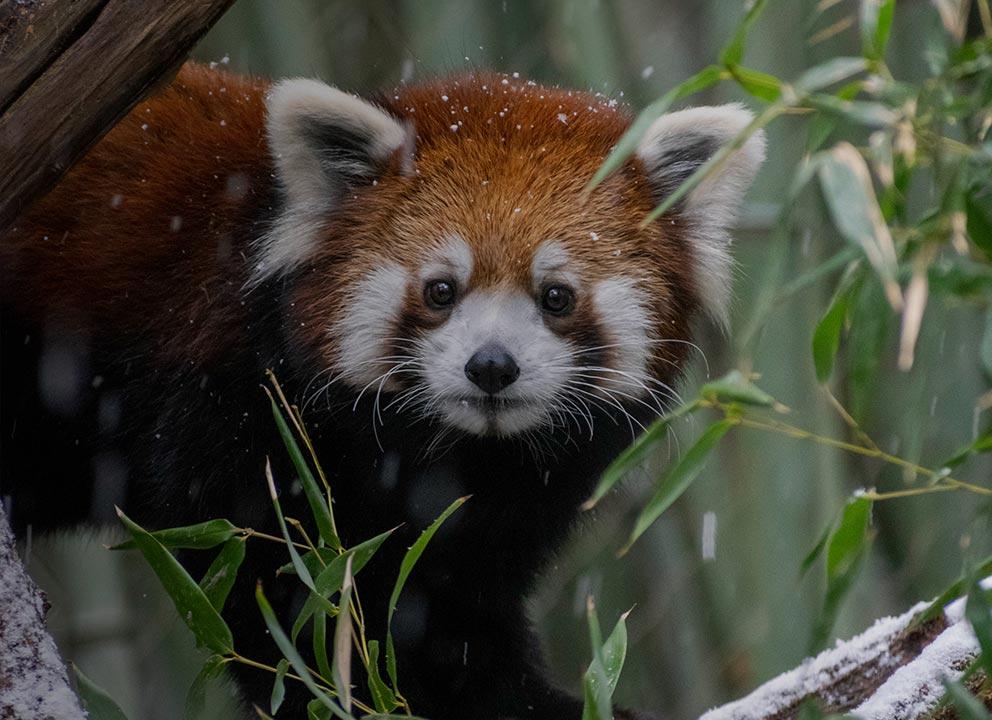 Red Panda In Snow