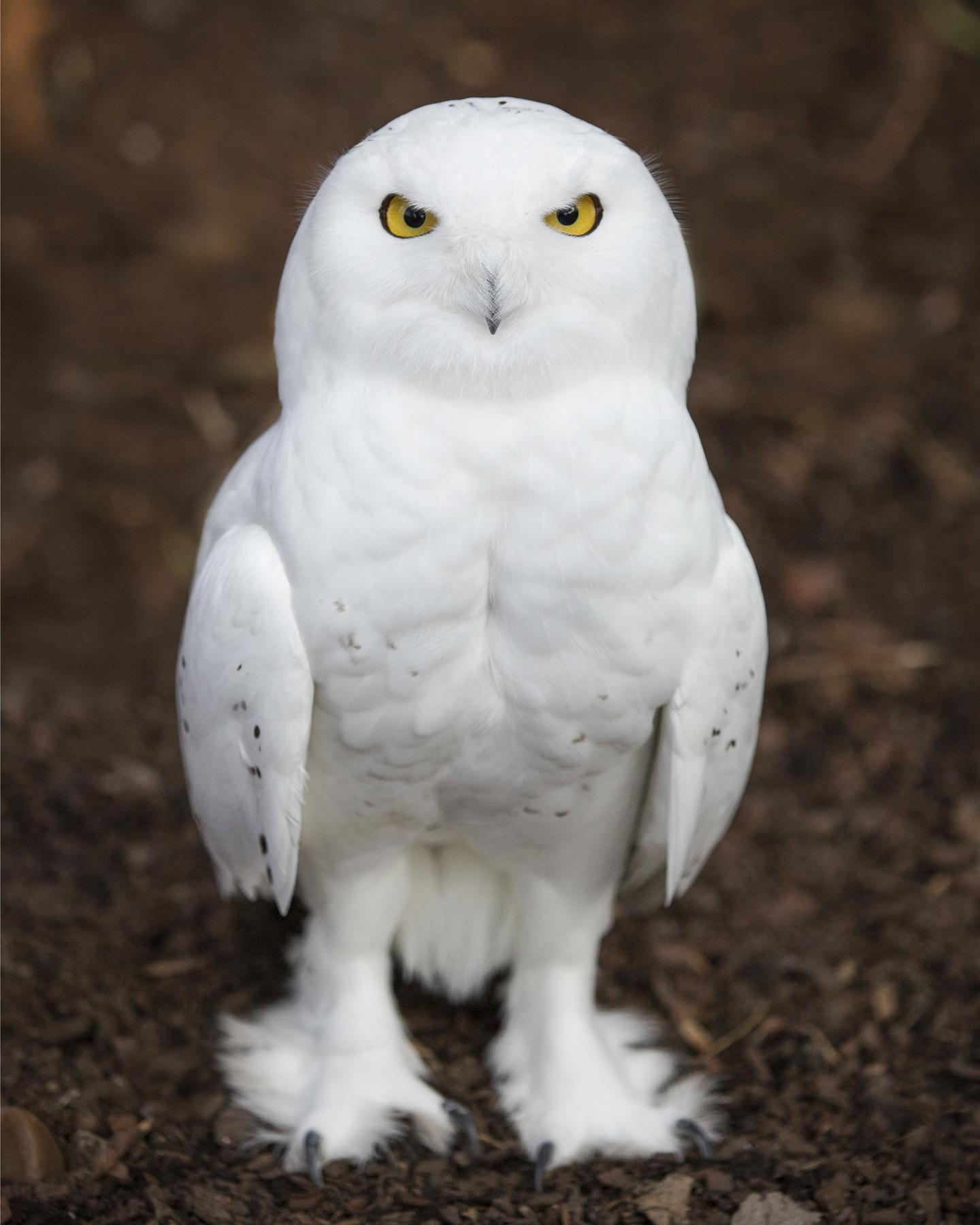 snowy owl keeper talk owl clip art silhouette owl clip art black and white