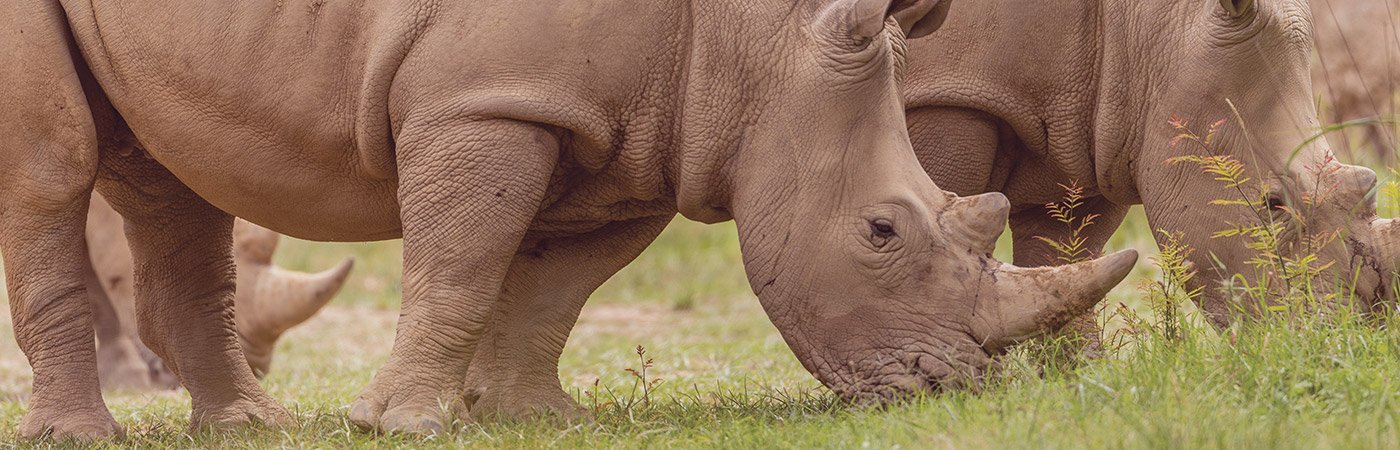 Grazing white Rhinos