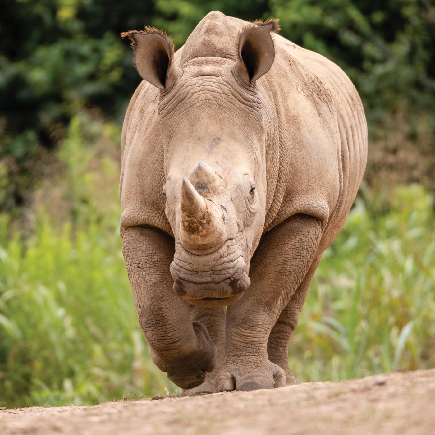 White rhino walking toward camera