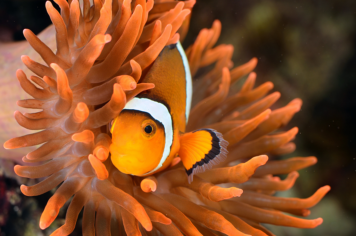 An orange clownfish with white stripes and black accent lines hides in an rose colored anemone