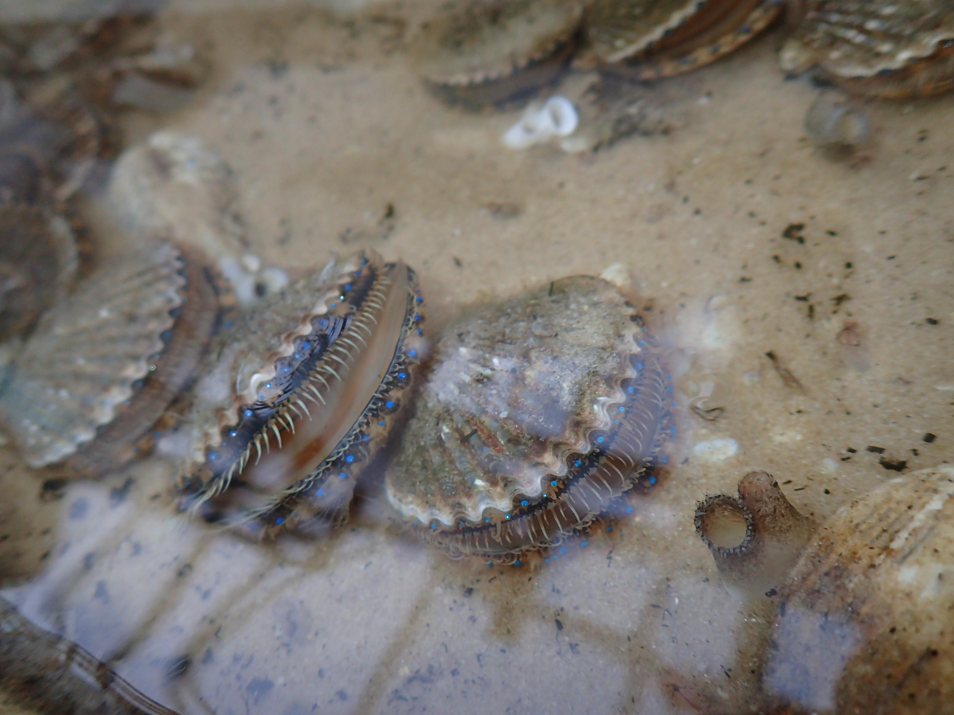Florida Aquarium Scallops