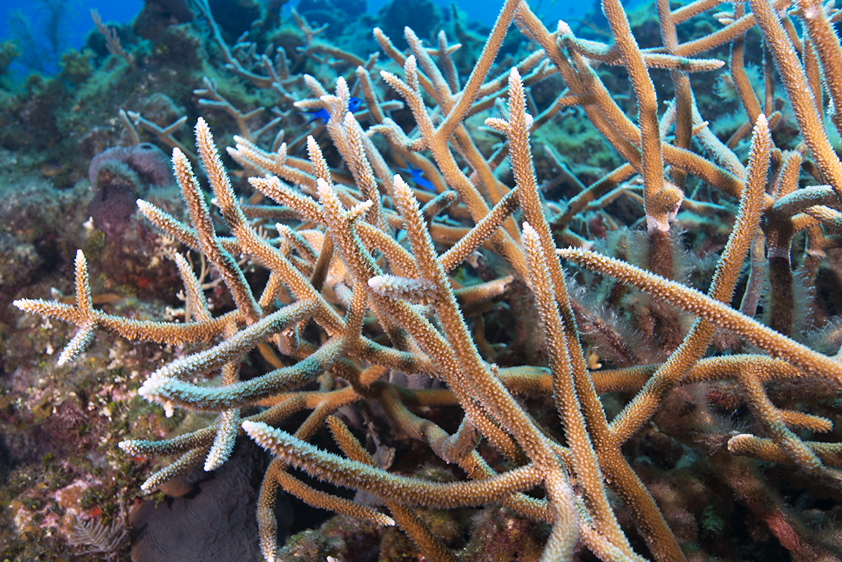 a wild staghorn coral colony with blue damselfish swimming throughout its branches