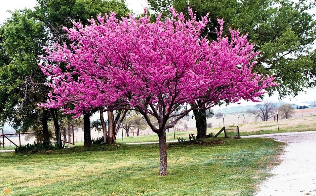 Natural Highlights Redbud Trees