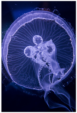 nc aquarium jelly fish | Great Escapes OBX