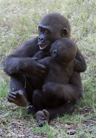 OKC ZOO HOSTS BELOVED GORILLAS THIRD BIRTHDAY CELEBRATION