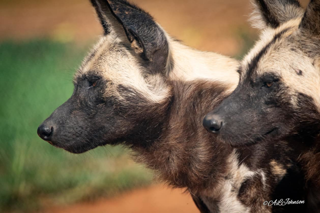 African Painted Dogs - Photo Credit Andrea Johnson