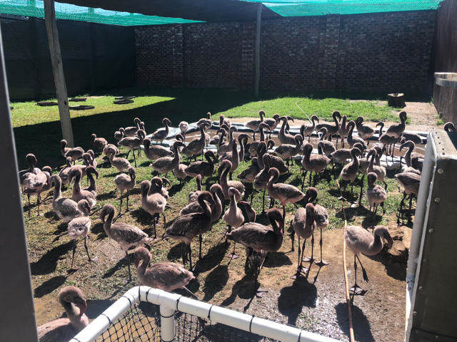 Rescued flamingos in South Africa