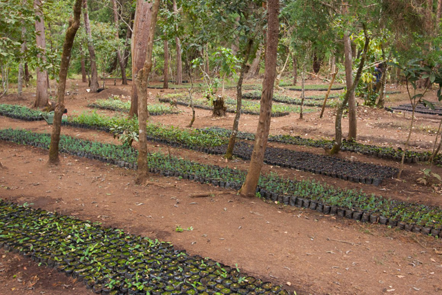 Community managed forest seedlings