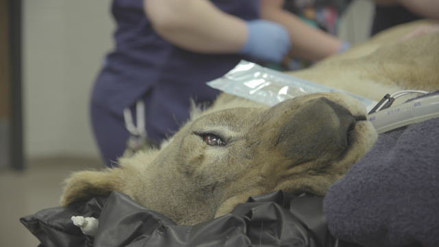 Tia the Lion in surgery