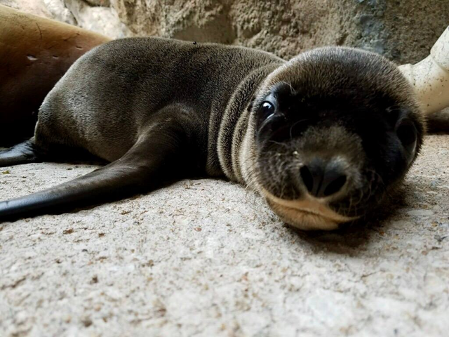 OKC ZOO ANNOUNCES BIRTH OF SEA LION PUP