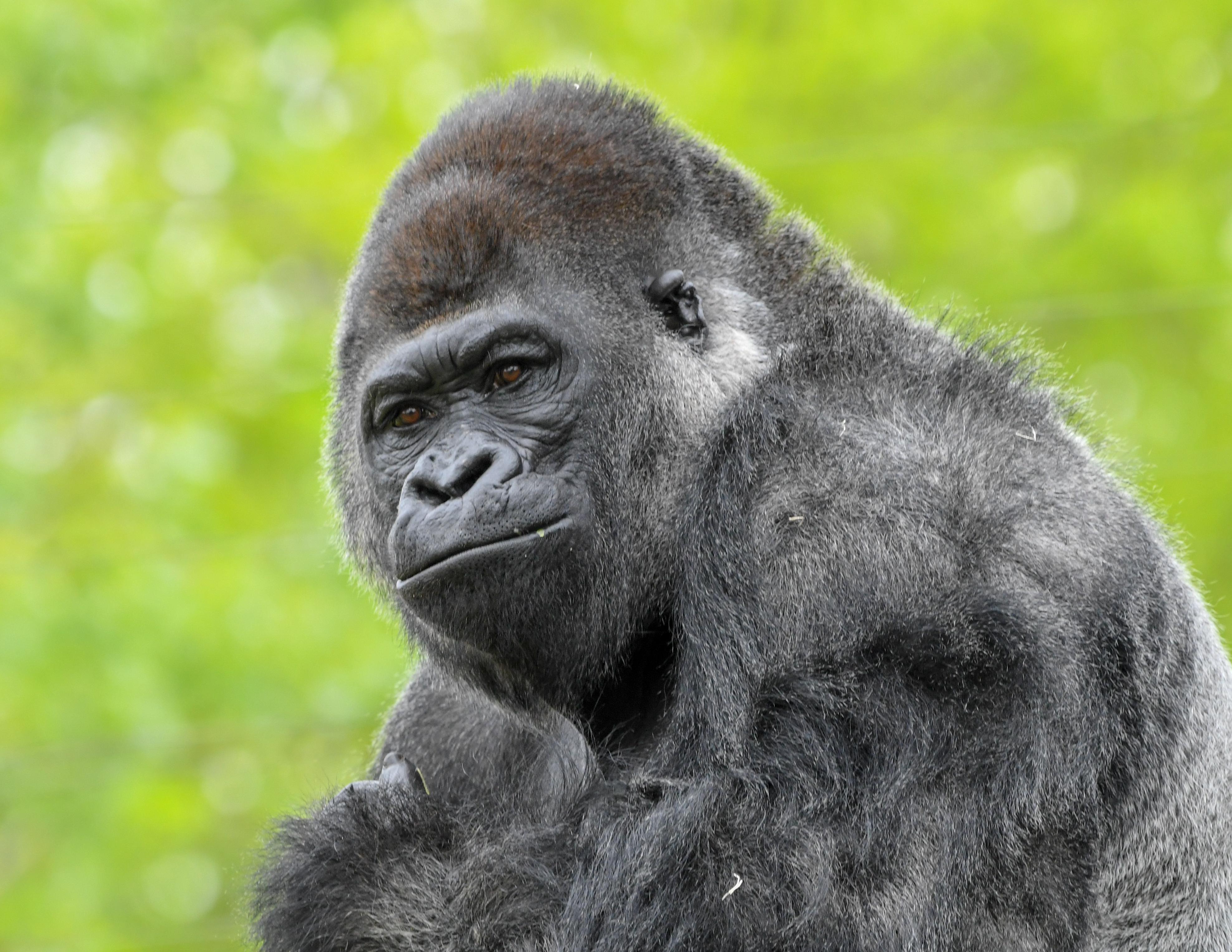 Silverback Gorilla Togo Credit Andrea Johnson