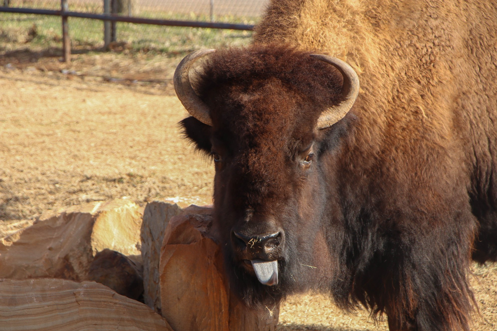 Bison Mary Ann