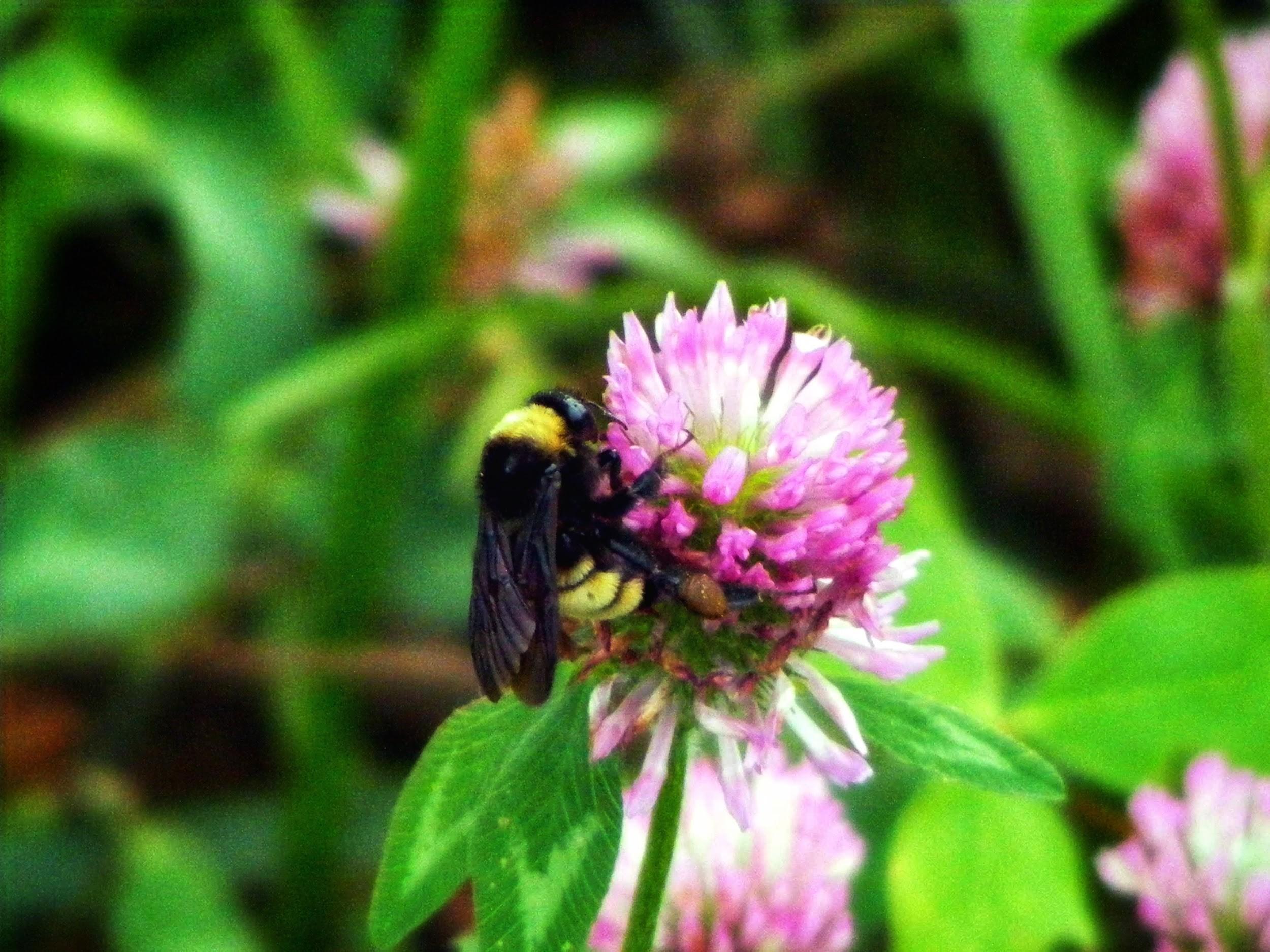American bumble bee Photo Credit: Jose Montalva