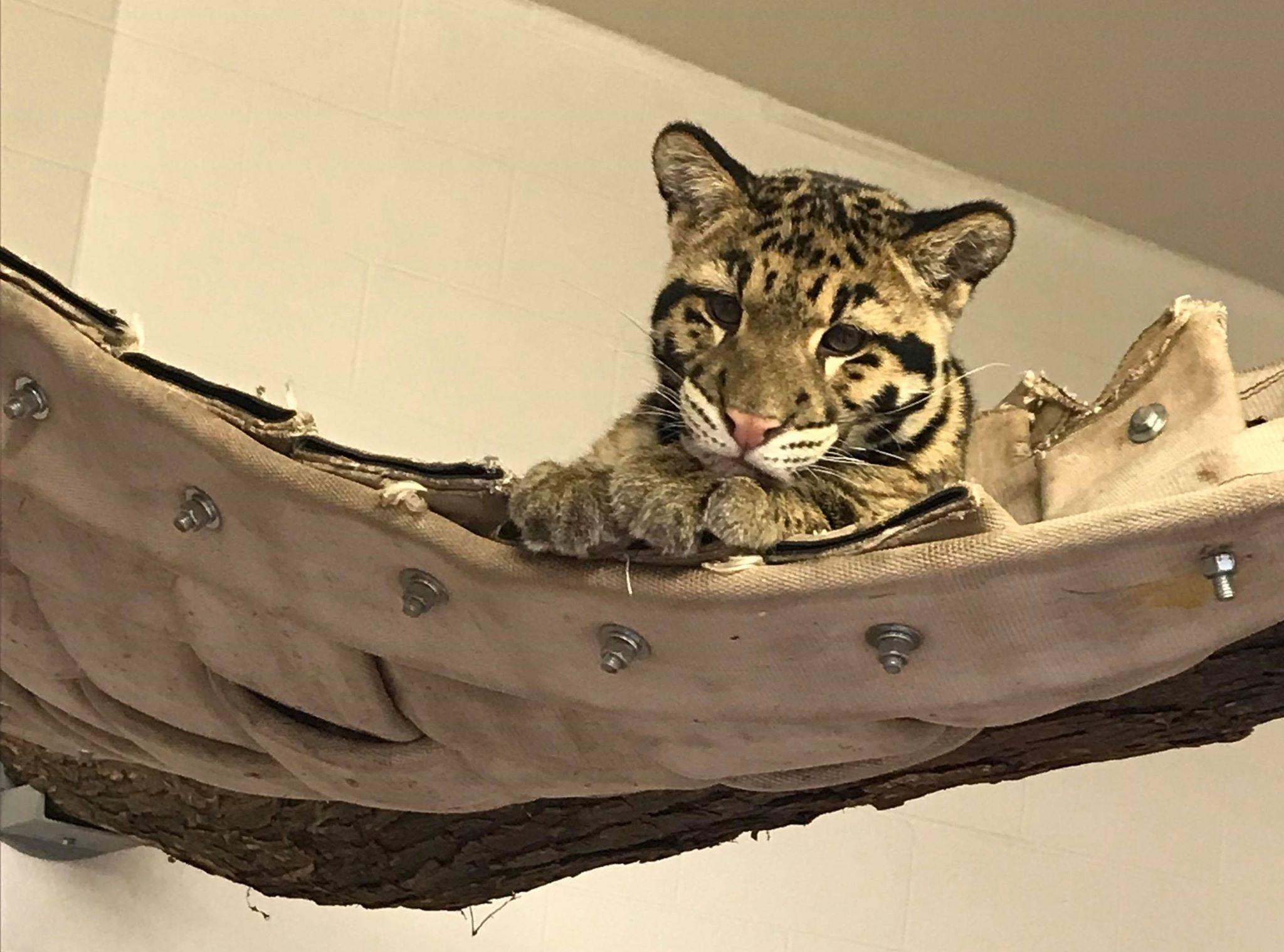 Clouded Leopards - Photo Credit Mandi Townzen