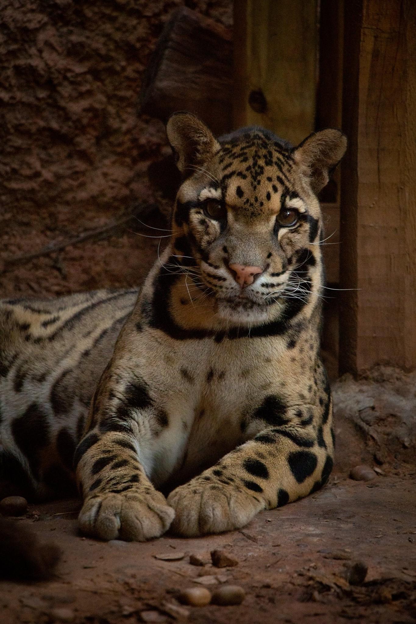 Clouded Leopard Luke