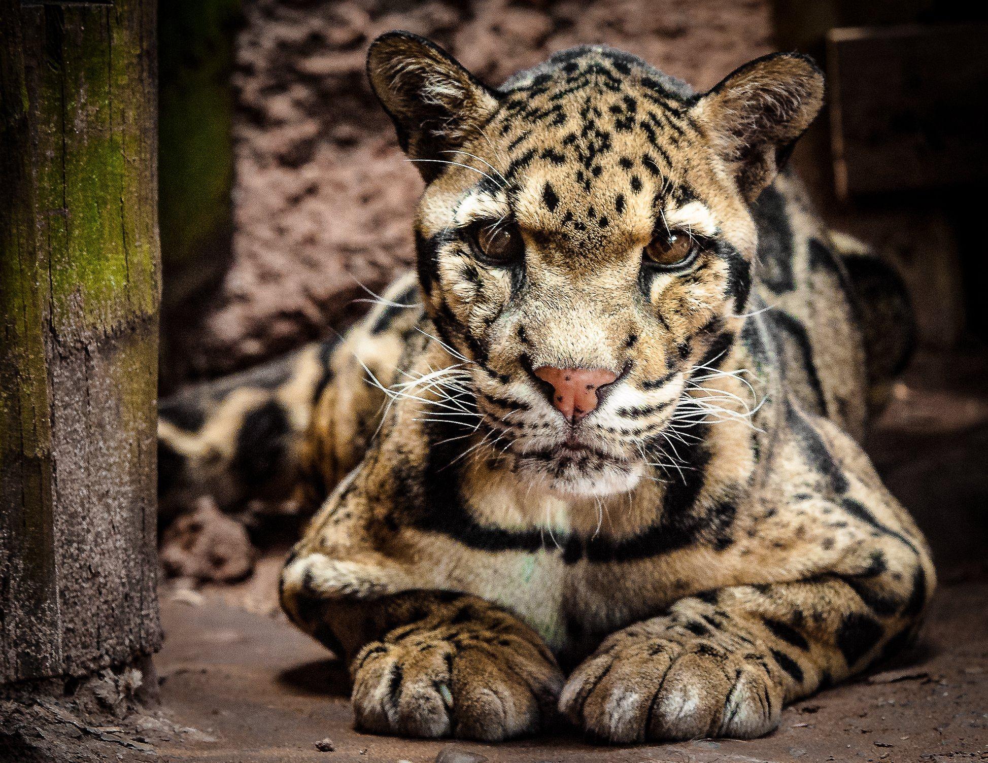 Clouded Leopard Luke Credit Imran Azhar